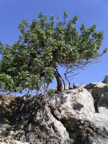 Baum im Felsen - Resilienz-Coaching